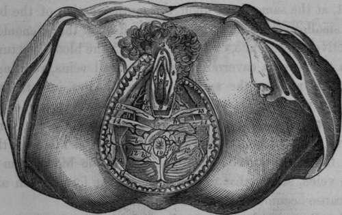 The Dorsal Artery