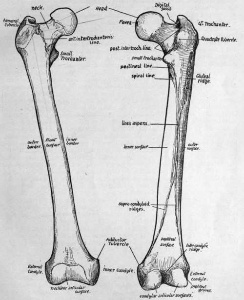 Right Femur Bone Right Femur Bone