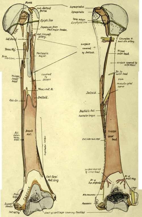 humerus bone anatomy. views of left humerus