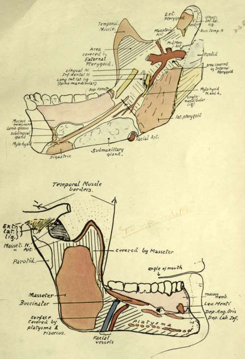Anatomy of the lower jaw