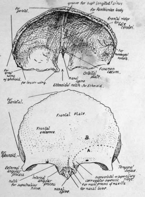 Separate Bones Of The Skull