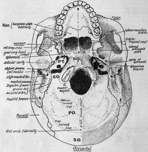 Cranial Bones. Part 2