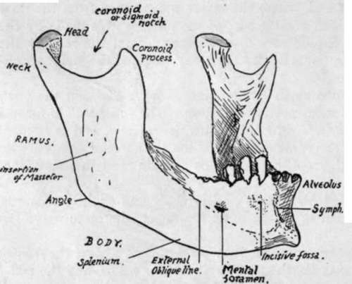 Lower Jaw Or Mandible