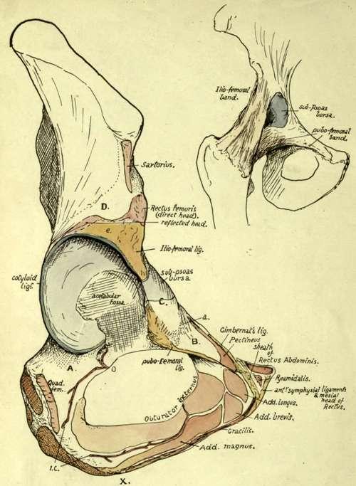 Pubic Region Anatomy