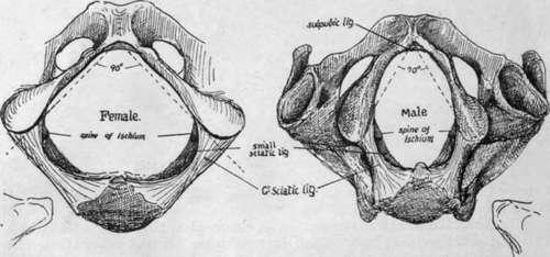 Pelvis. Outlet Of Pelvis. Wiring. Male Pelvic Outlet Diagram At Scoala.co