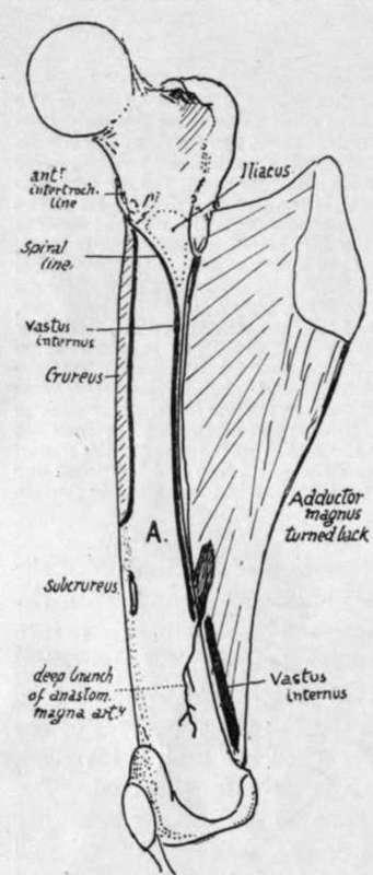 region of linea aspera