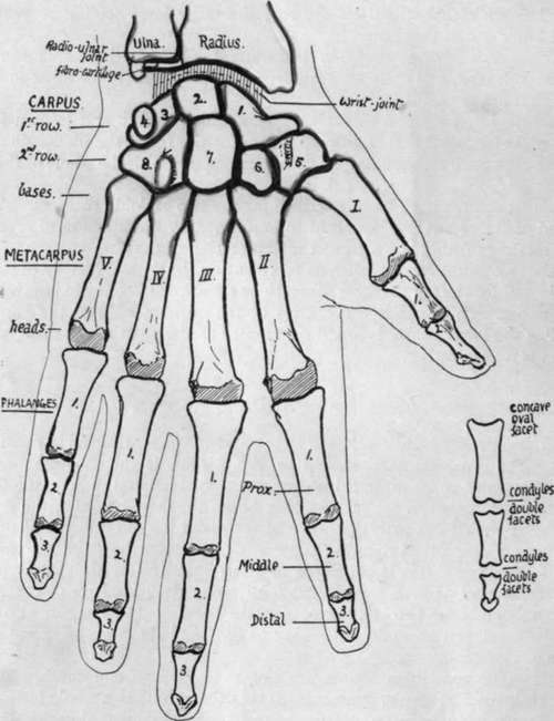 schematic of hand