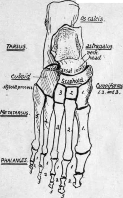 Side View of Foot Bones View of Right Foot Bones