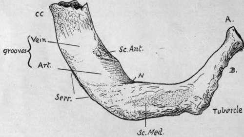 Costal Cartilages. Part 3