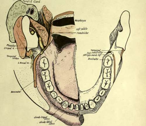 Lower Jaw Or Mandible. Part 3