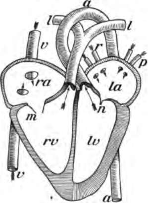Qetupa Circulatory System Diagram For Kids
