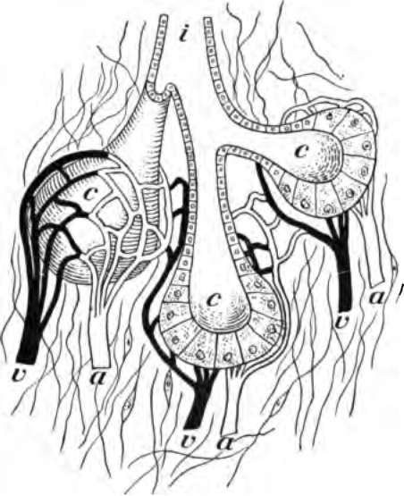 heart diagram apex