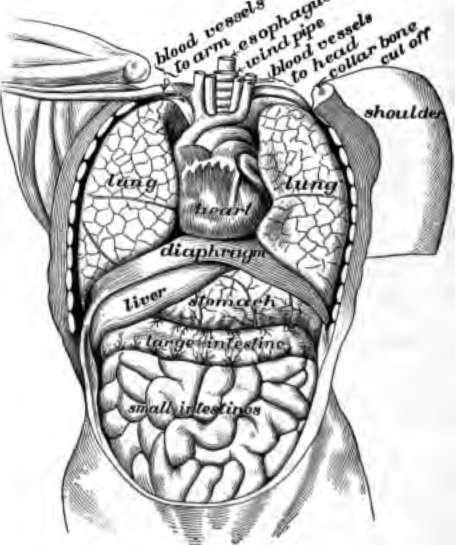 Anatomy of body organs from front
