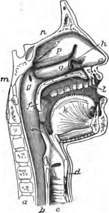Pin Of Pharynx In The Medical Dictionary By Free Online on Pinterest