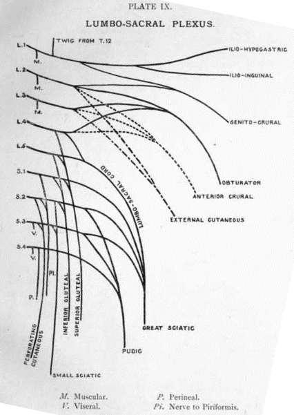 Sacral Plexus Lumbo-sacral plexusLumbosacral Plexus Cadaver