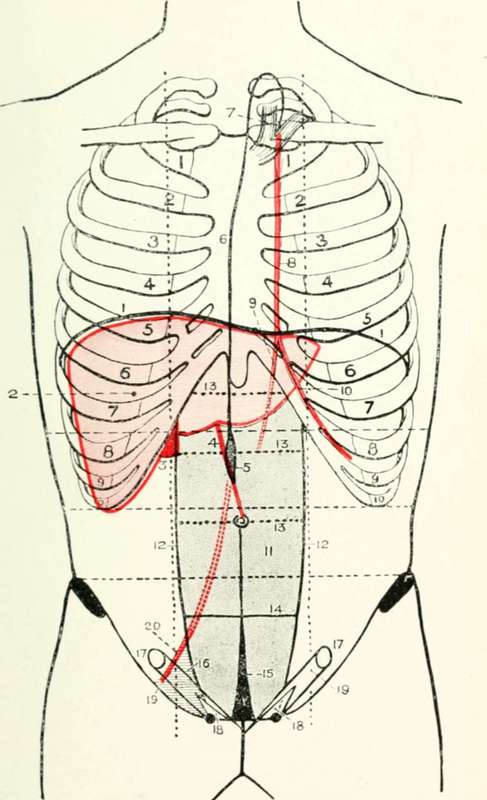 Surface anatomy liver