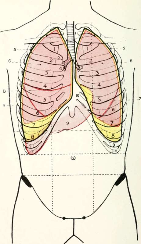 The Pleura And Lungs