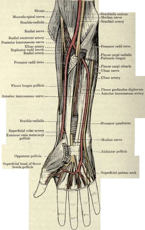 Anatomy Of A Wrist Image Collections Human Anatomy Organs Diagram