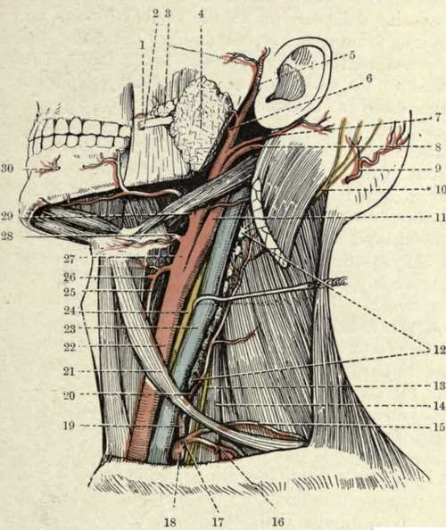 Side of neck anatomy
