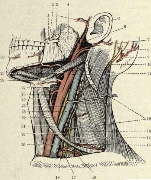 The Sterno-Mastoid