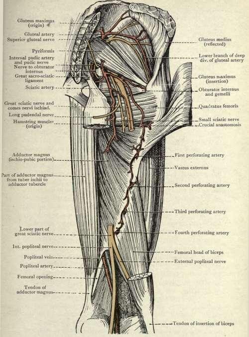 The Pyriformis