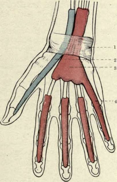 The Wrist And Hand. Surface Anatomy. Part 3