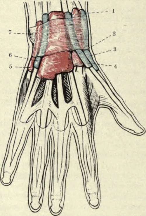 The Wrist-Joint