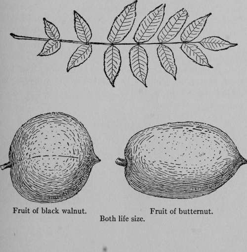 how to tell butternut trees from black walnut trees